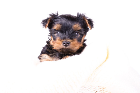 2 months: Portrait of cute yorkshire terrier puppy, 2 months old, isolated on white. Stock Photo