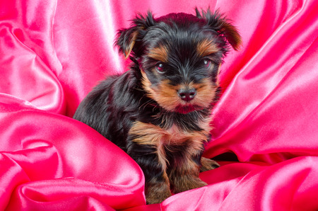2 months: Portrait of  yorkshire terrier puppy, 2 months old on pink background
