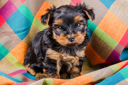 2 months: Cute yorkshire terrier puppy sitting, 2 months old, on colorful checkered towel