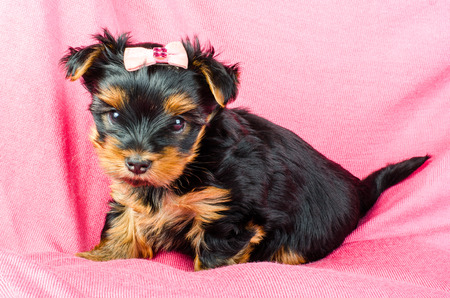 2 months: Portrait of  yorkshire terrier puppy with pink bow, 2 months old on pink background Stock Photo