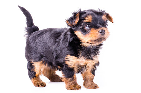 2 months: Yorkshire terrier puppy sitting, 2 months old, isolated on white. Stock Photo
