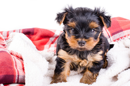 2 months: Portrait of  yorkshire terrier puppy, 2 months old, isolated on white. Stock Photo