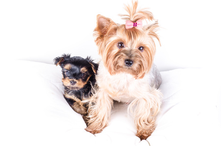 2 months: Yorkshire terrier mom and pup, 2 months old, isolated on white.
