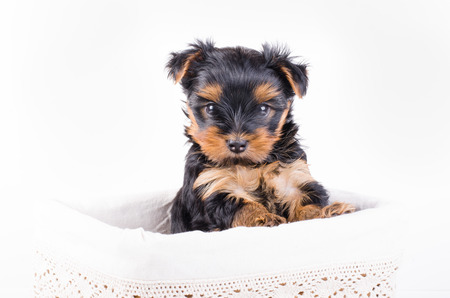2 months: Yorkshire terrier puppy in white box, 2 months old, isolated on white. Stock Photo