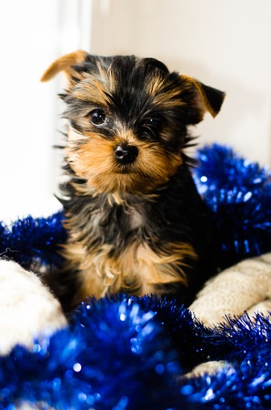 gist: New Year , Christmas gist. Yorkshire Terrier puppy sitting, 2 months old, on white knitted blanket