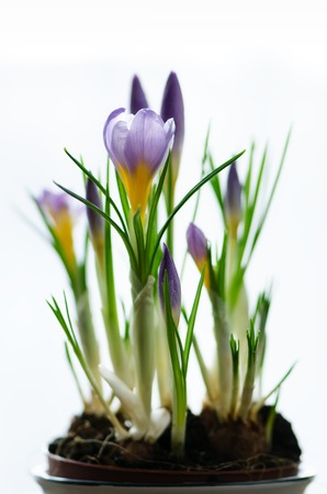 Beautiful purple violet crocuses in pot on white background with copyspace. Spring concept. Free space for your text Stock Photo