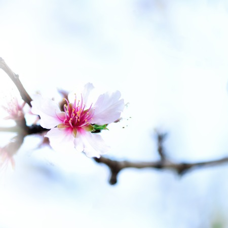 Flowering almond tree. Blooming almond flower. Stock Photo