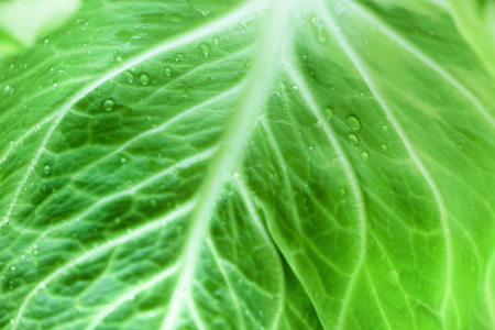 Drops of morning dew on cabbage leaf. Vegetable concept. Macro shoot, top view Stock Photo