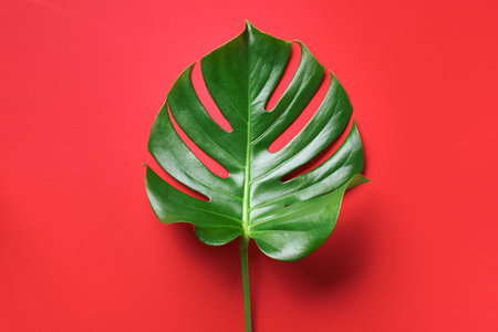 Tropical leaf of monstera over red background. Top view, copy space. Minimal summer concept.