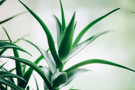 Green aloe vera plants. Tropical aloe. Nature farm garden for cosmetics ingredient. Herbal medicine for skin treatment and care.