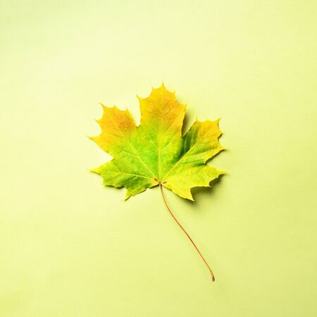 Golden autumn concept. Sunny day, warm weather. Maple leaf on green background with copy space. Top view. Colors of fall.