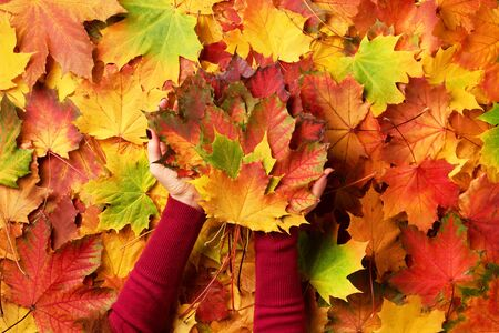 Bright autumn background, light bokeh. Sunny day, warm weather. Bunch of colorful maple leaves in female hands with red nails design. Top view. Banner.