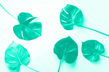 Pattern of tropical monstera leaves on mint color background. Trendy green and turquoise color. Pop art design, creative and exotic summer concept. Minimal style. Banner 写真素材