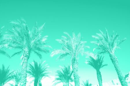 Tropical palm trees over mint color sky. Summer and travel concept. Holiday background. Trendy green and turquoise color. Palm leaves and branches texture with copy space. Banner