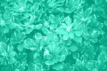 Green leaves texture. Trendy green and turquoise color. Tropical leaf in mint color background. Banner. Top view.