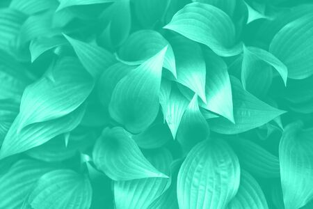 Fresh green foliage. Leaves background. Green dynamic backdrop for your design. Trendy green and turquoise color. Tropical leaf texture in mint color