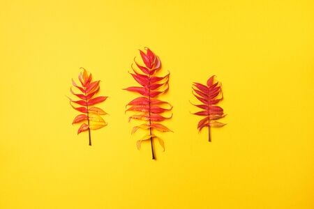 Red, green and yellow autumn tree leaves over yellow background. Top view. Copy space. Branch of Staghorn Sumac tree with multicolored leaves.