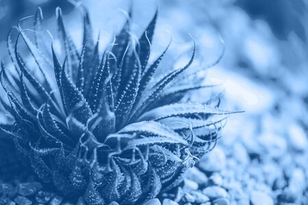 Aloe vera plant in monochrome color. Tropical aloe. Nature farm garden for cosmetics ingredient. Trendy blue and calm color. Herbal medicine for skin treatment and care. Banco de Imagens - 135187121