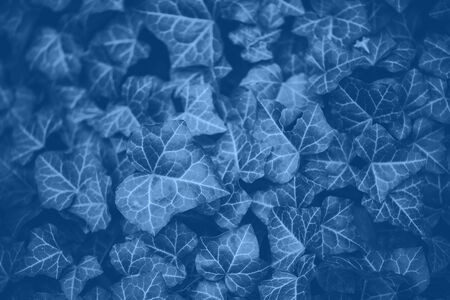 Green leaves texture. Trendy blue and calm color. Tropical leaf in monochrome color background. Banner. Top view. Banco de Imagens - 135187129
