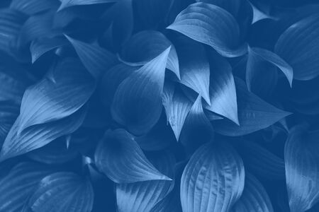 Fresh blue foliage. Leaves background. Green dynamic backdrop for your design. Trendy blue and calm color. Tropical leaf texture in monochrome color