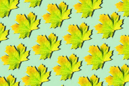Golden autumn concept. Sunny day, warm weather. Maple leaf on mint background. Top view. Colors of fall