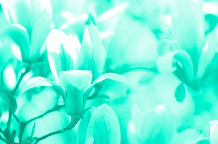 Blooming magnolia tree in the spring sun rays. Copy space. Blossom spring, sunny woman day concept. Trendy green and turquoise color. Magnolia flowers in mint color Zdjęcie Seryjne