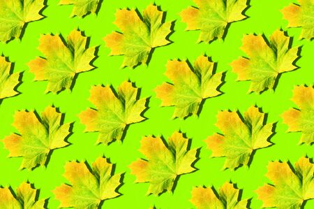 Colorful maple leaves pattern on green background. Top view. Flat lay. Season concept. Creative layout of colorful autumn leaves