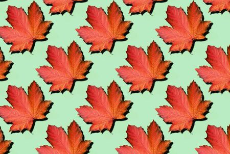 Creative layout of colorful autumn leaves. Banner with red maple leaves pattern on mint background. Top view. Flat lay. Season concept