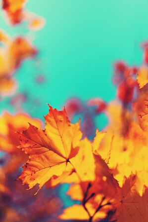 Autumn yellow leaves on blue sky background. Golden autumn concept. Sunny day, warm weather