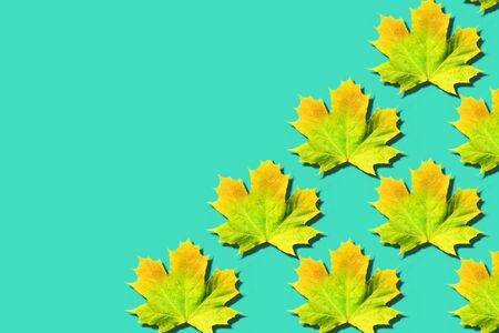 Golden autumn concept. Sunny day, warm weather. Maple leaf on mint turquoise background with copy space. Top view. Colors of fall.
