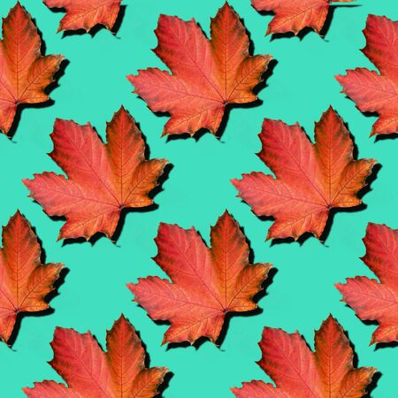 Golden autumn concept. Sunny day, warm weather. Red maple leaf on mint turquoise background with copy space. Top view. Colors of fall. Zdjęcie Seryjne