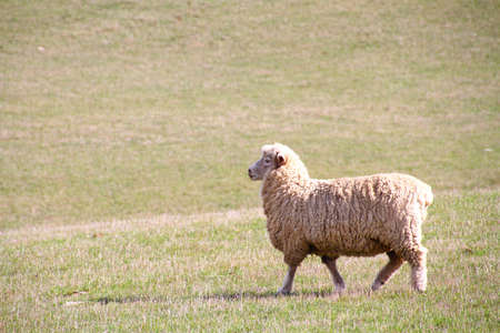 chear: Sheep walking on a grassy field Stock Photo