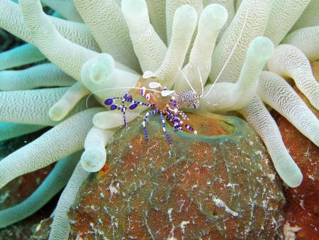 spotted: Spotted, Cleaner Shrimp on hard coral and anemone