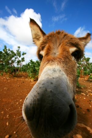 big ass: Close up of Donkey with Blue Sky and White Clouds