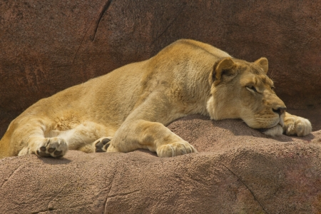 Lioness resting while laying on a brown rock  photo