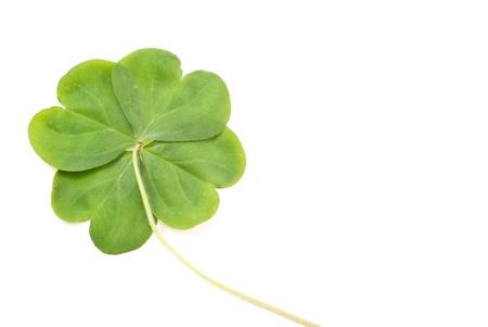 four leaf: Tr?bol de cuatro hojas Foto de archivo