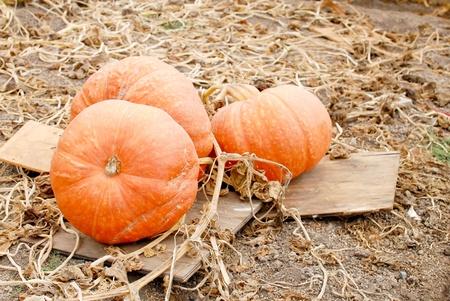 large pumpkin: Large Pumpkins
