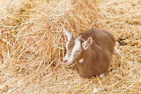 billy: Billy Goat Lying Down in the Hay