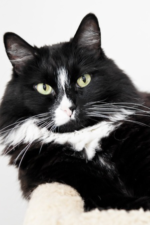 house cat: Portrait of a Black and White Cat Stock Photo