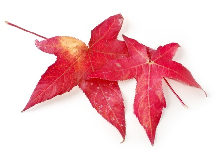 plantlife: Maple Leaves