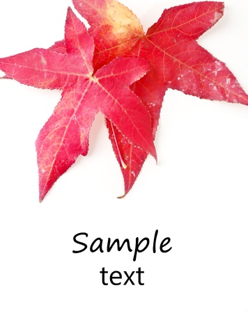 Two Autumn Maple Leaves photo