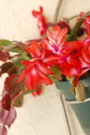 plants species: Desert Cactus Flower Archivio Fotografico