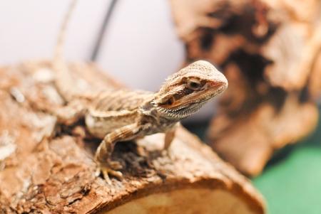 curiously: Bearded Dragon Curiously Sitting on Log Stock Photo
