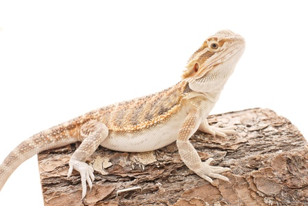 Cute Bearded Dragon Sitting photo