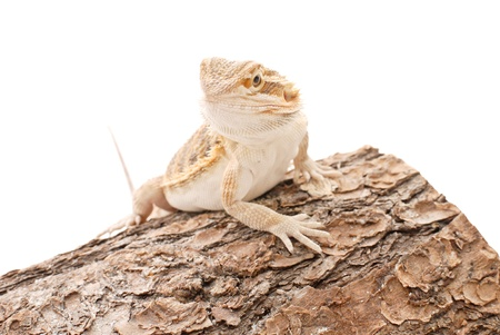 Bearded Dragon Climbing a Log photo