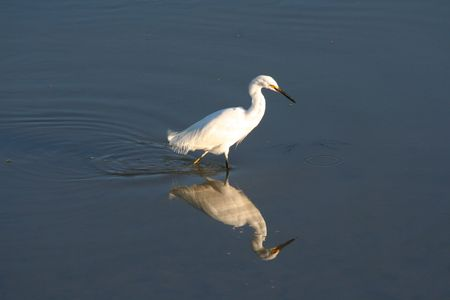 White heron in water with reflection Stock Photo