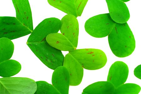 clover leaf parts on a white background Stock Photo - 2761788