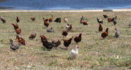 A flock of free range chickens in the grass by a lake Stock Photo - 3218908