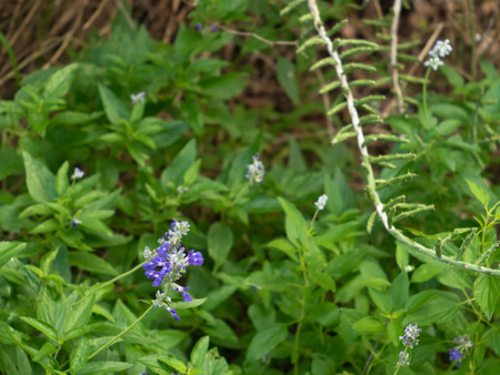 Lavendar colored bluebonnet among lush green vegetation and small succulent cactus on a forest floor
