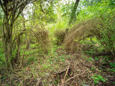 Brush plants in a lush green forest, growing in an arch so that the ends touch the ground